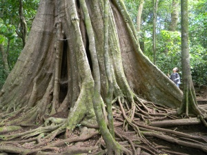 This strangler fig at Hidden Valley trail is the largest I have seen in Monteverde.
