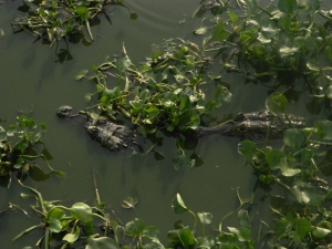 We stopped on the road on the way from the airport in Cuiaba to Southwild Pantanal Lodge to see birds and caiman.