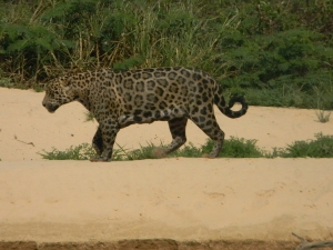 "Jaguar on a beach at Pantanal, Brazil. Photo taken with a ""point and shoot"" Nikon Coolpix L110."