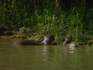 "Giant River Otter, Pantanal, Brazil. Photo taken with a ""point and shoot"" Nikon Coolpix L110."