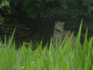 "Wild jaguar in the Pantanal, Brazil. Photo taken with a ""point and shoot"" Nikon Coolpix L110."