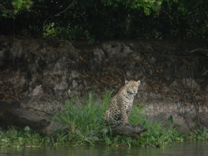 "Jaguar in the Pantanal, Brazil. Photo taken with a ""point and shoot"" Nikon Coolpix L110."