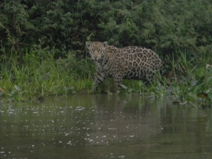 """Jaguar in the Pantanal, Brazil. Taken with a """"point and shoot"""" Nikon CoolPix L110."""