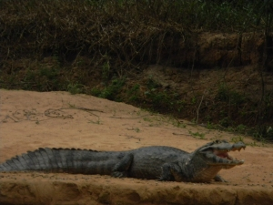 "Caiman, Pantanal, Brazil. Photo taken with a ""point and shoot"" Nikon Coolpix L110."