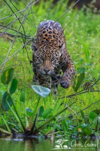 Jaguar in Pantanal, Brazil