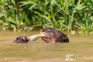 River otters with fish, Pantanal, Brazil